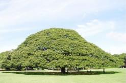 モンキーポッドの樹